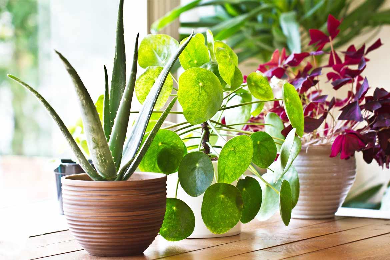 piante che purificano aria