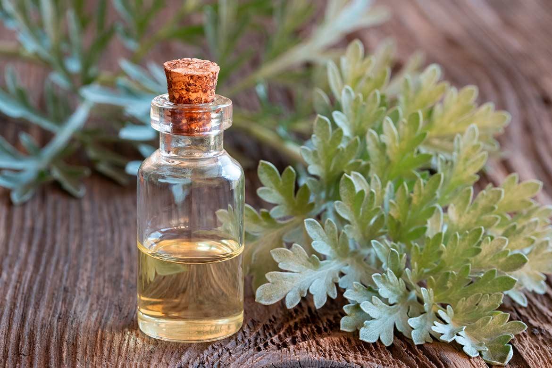 artemisia-pianta